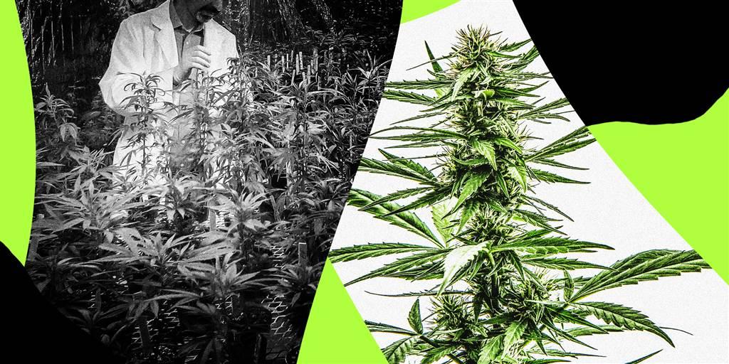 Marijuana in the news